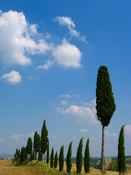 cypress hill in der toskana - herpens stock-fotos und bilder