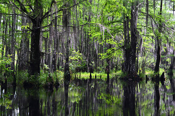 Cypress in Honey Island Swamp, Slidell, Louisiana stock photo