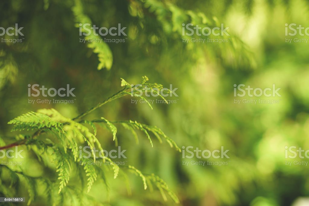 Cypress in spring stock photo