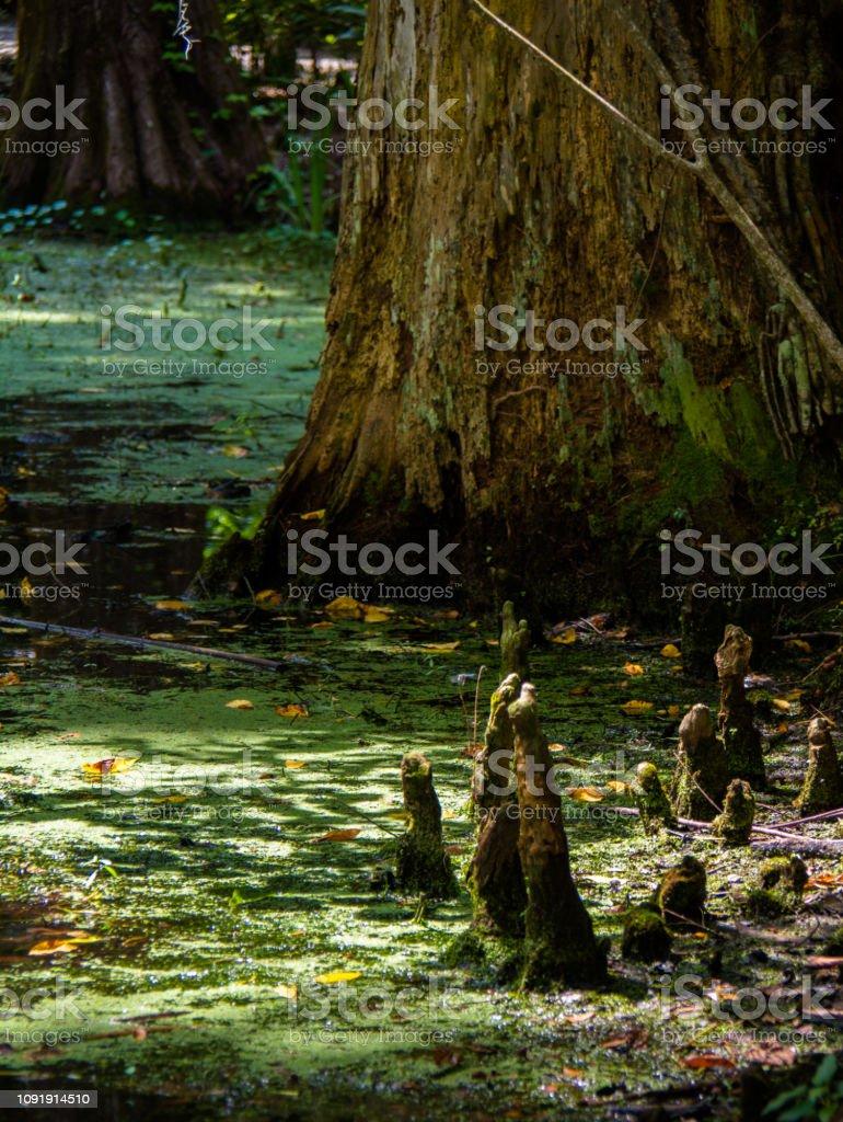 Cypress Knees stock photo