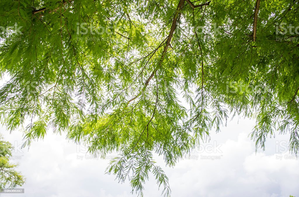 Cypress leaves royalty-free stock photo