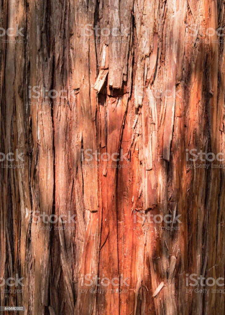 Cypress of Japan. stock photo