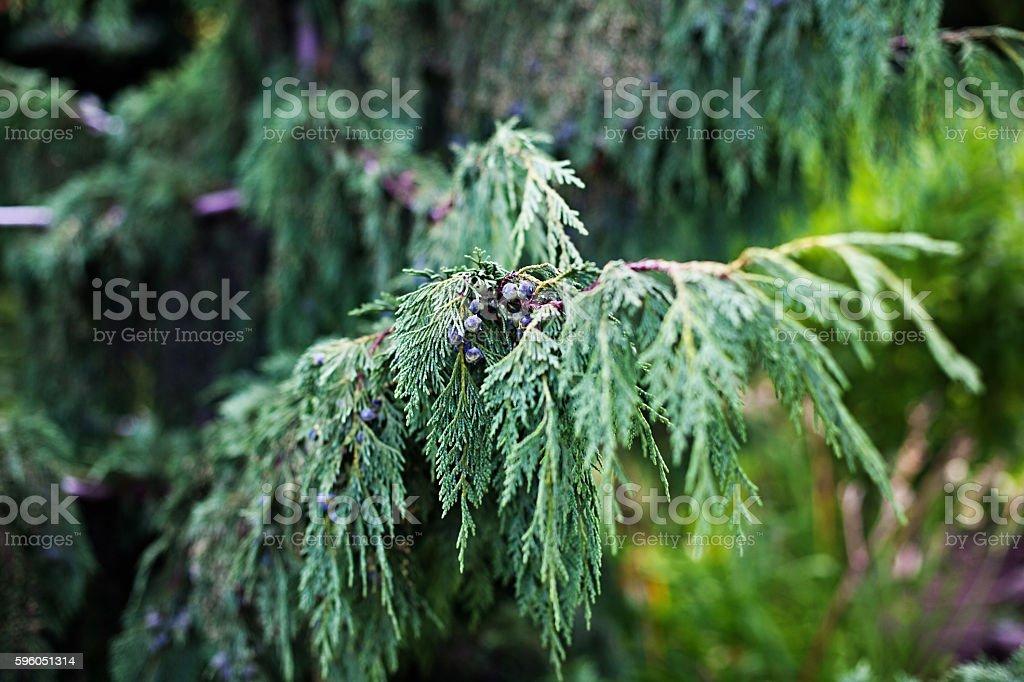 Cypress Pendula royalty-free stock photo