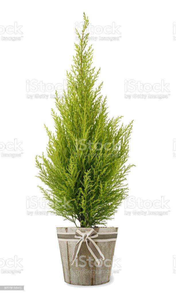 Cypress plant in vase stock photo