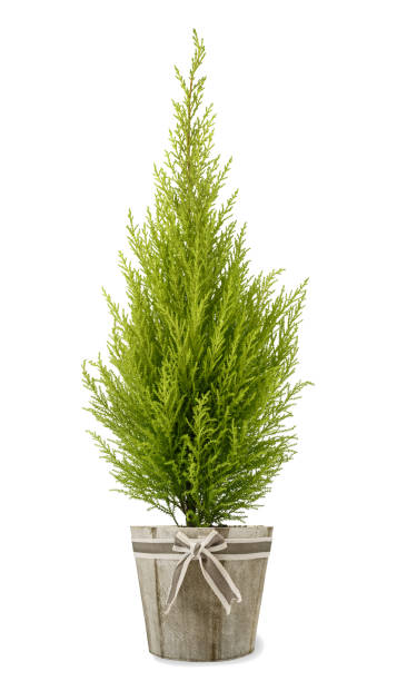 cypress plant in vase - cypress tree stock photos and pictures