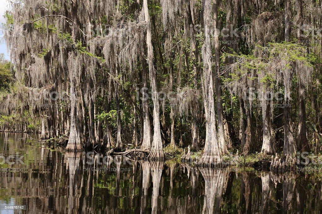Cypress reflections stock photo
