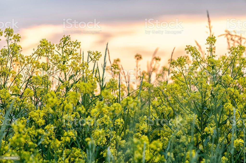 Cypress spurge (Euphorbia Cyparissias) on a meadow stock photo