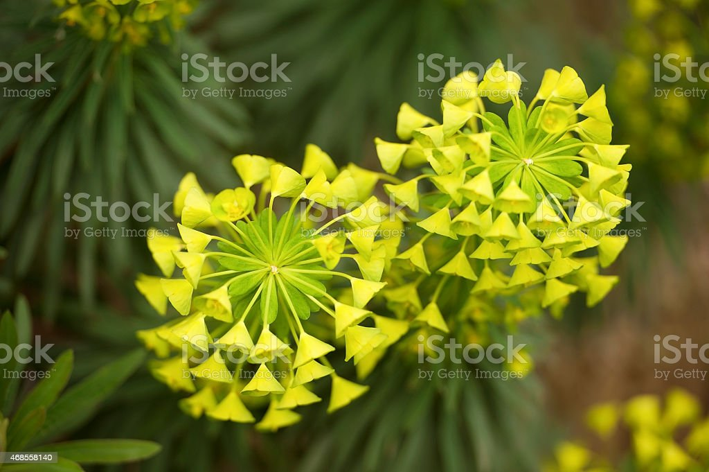 Cypress Spurge (Euphorbia cyparissias) stock photo