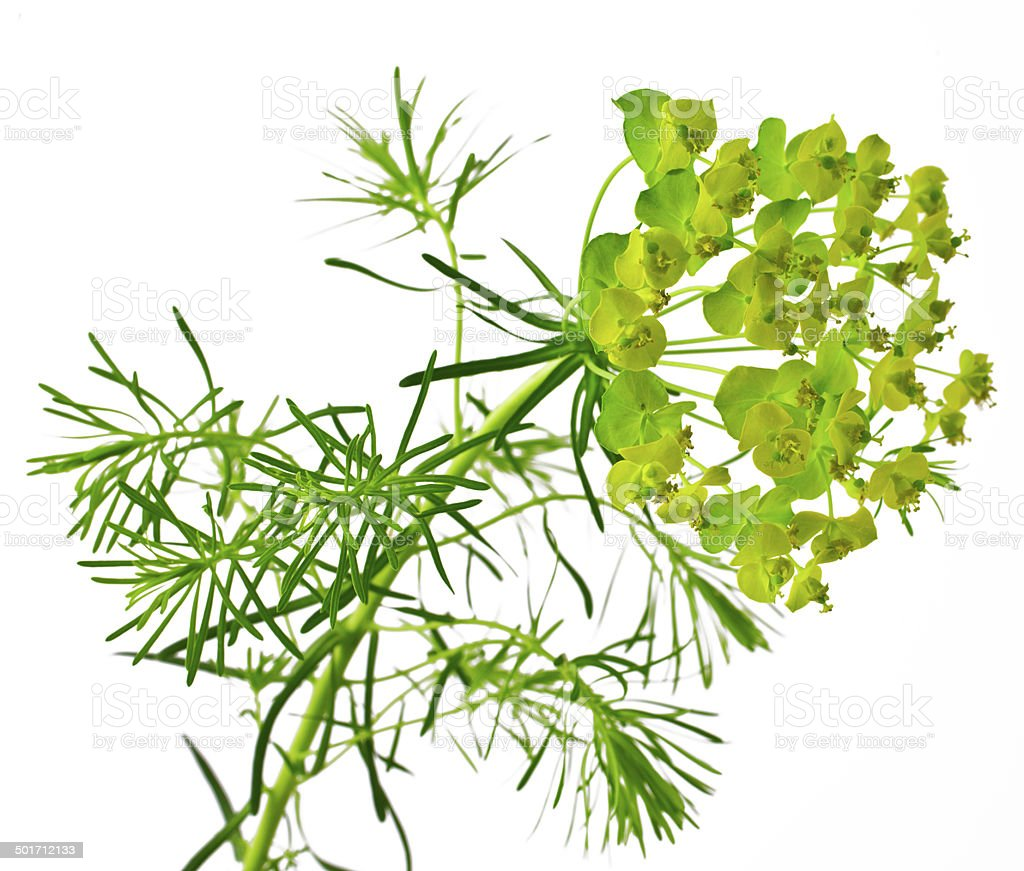 Cypress spurge stock photo