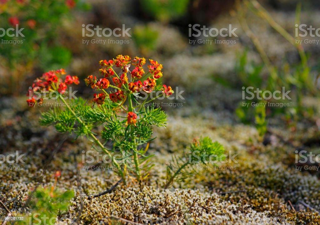 Cypress spurge (Euphorbia cyparissias) plants stock photo