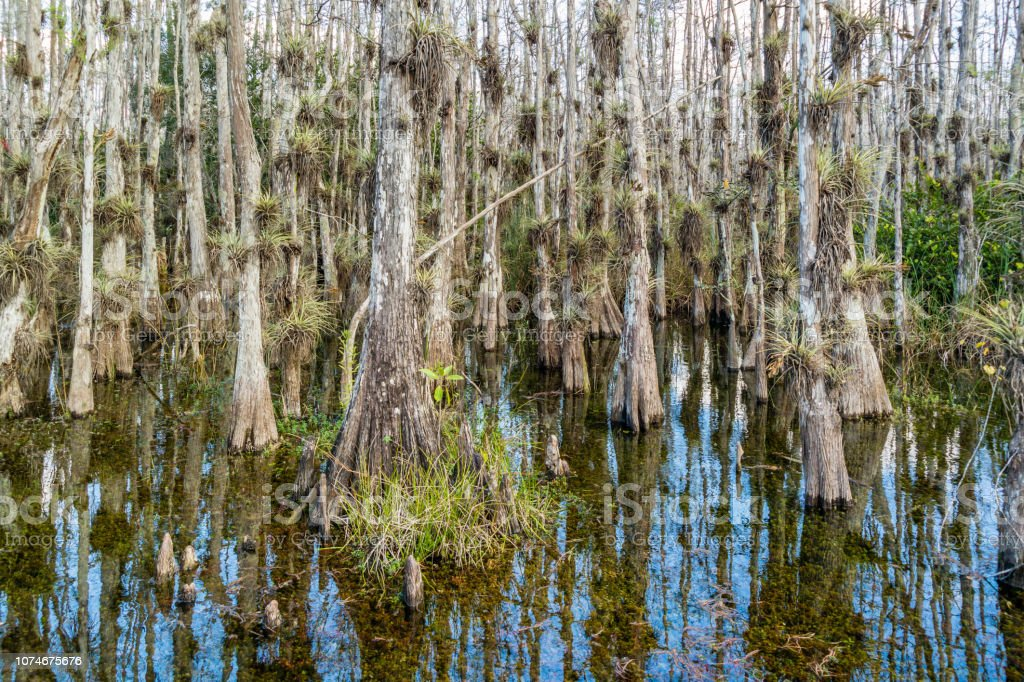 Cypress swamp along Loop Road in Big Cypress National Reserve, Everglades, Florida, USA stock photo