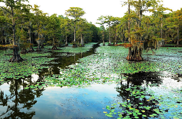 cypress swamp canoe trail - cypress tree stock photos and pictures