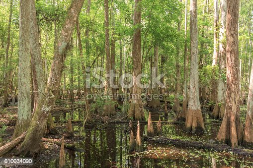 This Cypress Swamp is located within the Shingle Creek Preserve and Park in Kissimmee, Florida.  Note the cypress