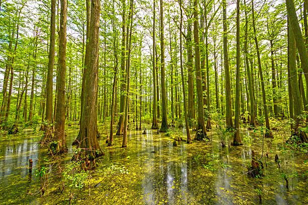 cypress swamp in spring - bald cypress tree stockfoto's en -beelden