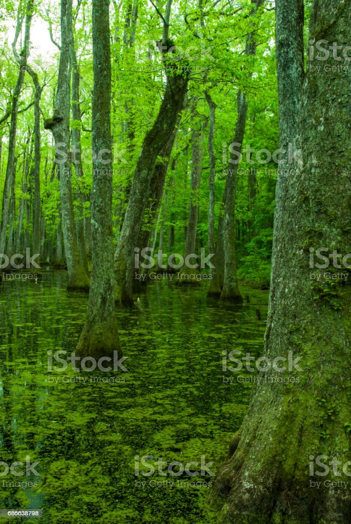 Cypress Swamp, Natchez Trace, Mississippi royalty-free stock photo