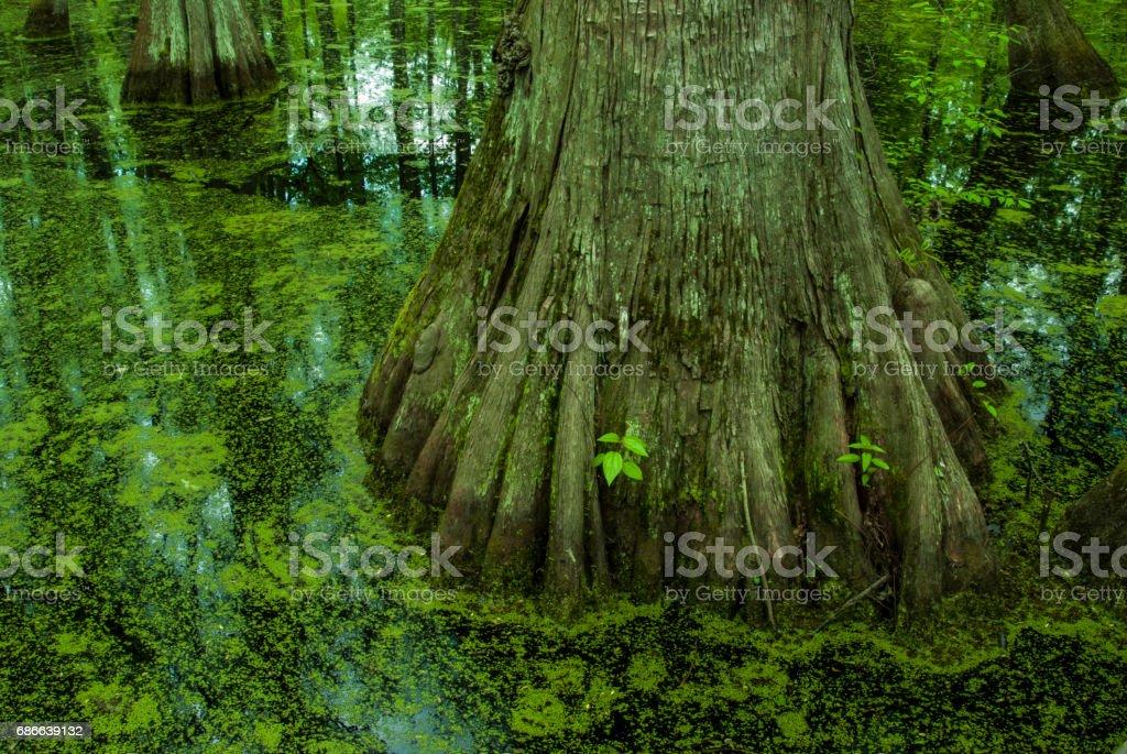 Ciprés de pantano, rastro de Natchez, Mississippi foto de stock libre de derechos