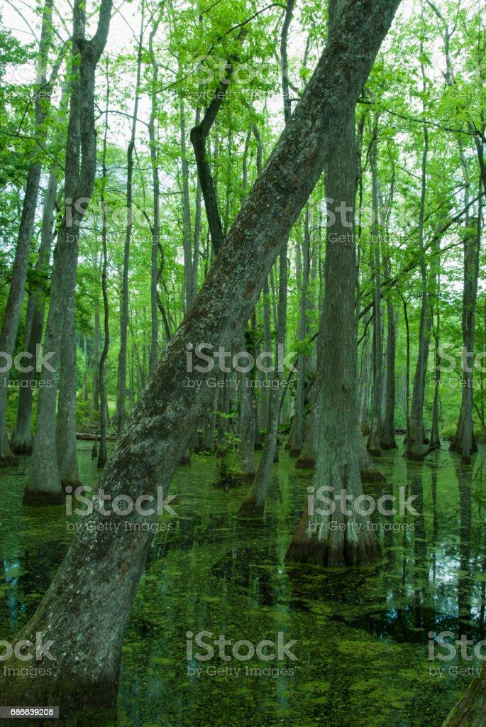 Cypress Swamp, Natchez Trace, Mississippi Lizenzfreies stock-foto