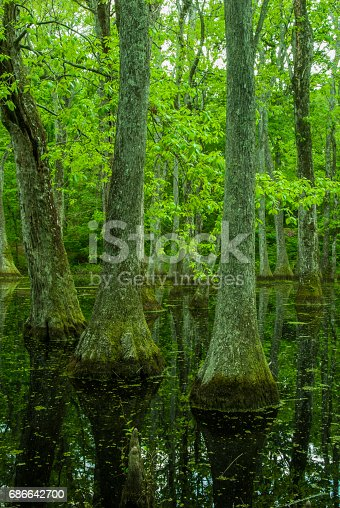 Cypress Swamp Natchez Trace Mississippi Stock Photo & More Pictures of Cypress Swamp