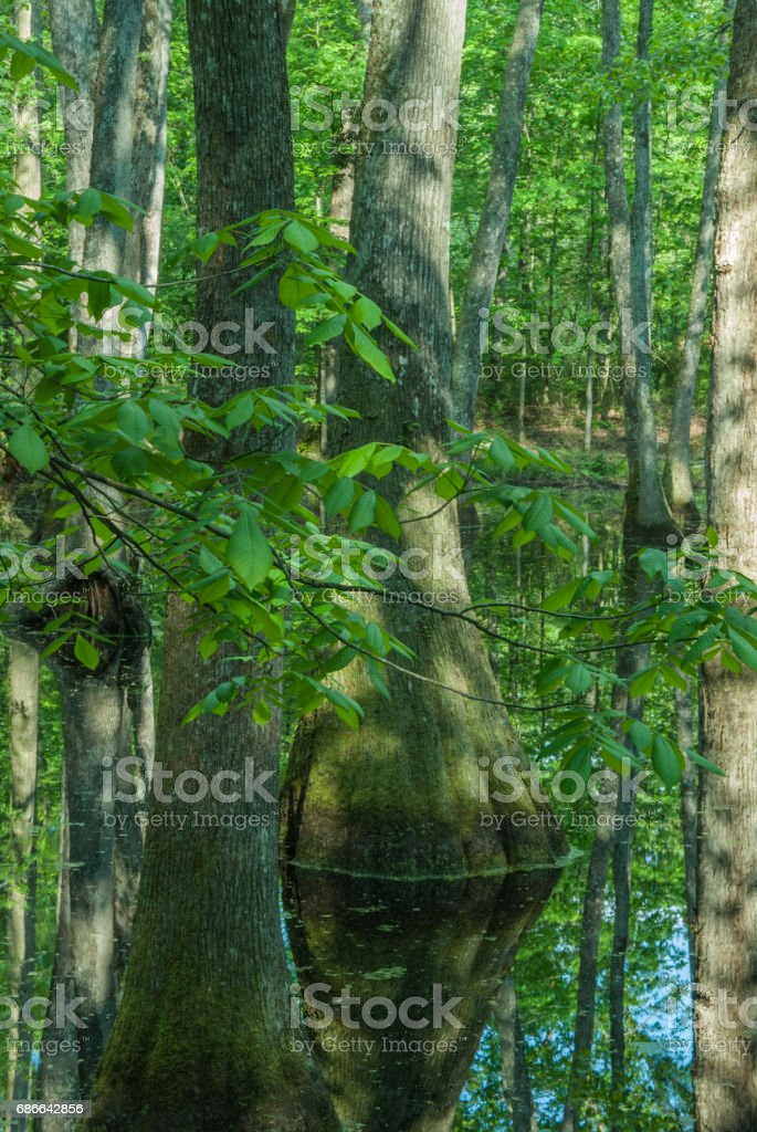 Cypress Swamp, Natchez Trace, Mississippi royalty-free stock photo