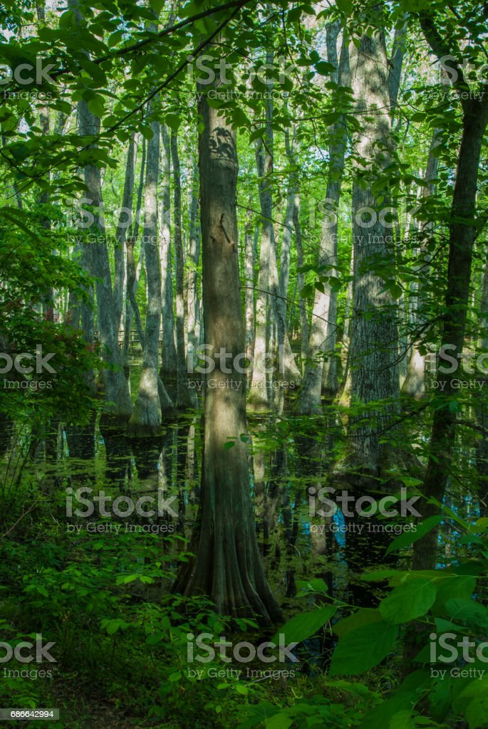 Cypress Swamp, Natchez Trace, Mississippi stock photo