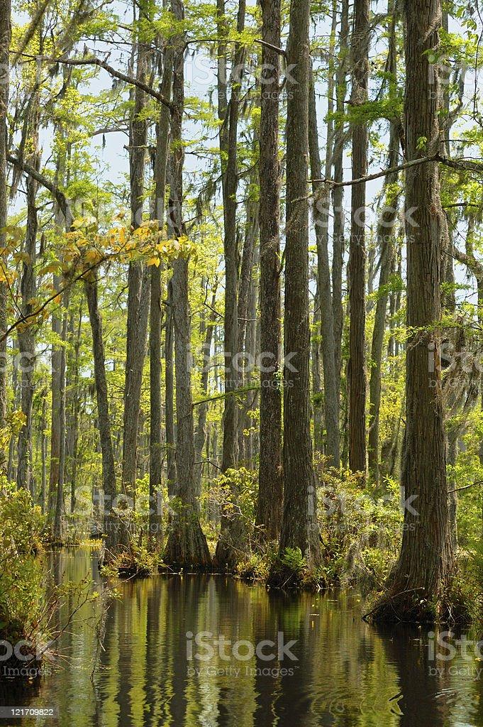 Cypress swamp royalty-free stock photo
