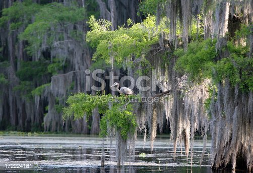 a view of a cypress swamp with a great blue heron perched in the trees with the draping spanish mossPlease see my lightbox with similar photos: