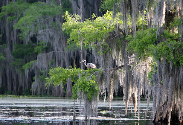 cypress swamp with great blue heron - cypress tree stock photos and pictures