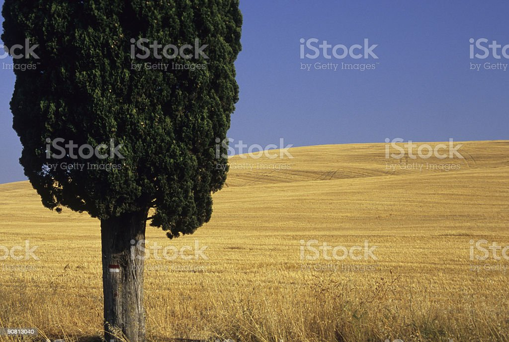 Cypress tree against wheat field, San Quirico, Tuscany royalty-free stock photo