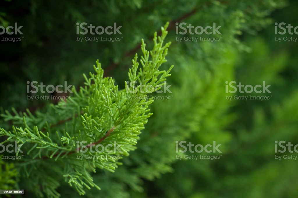 cypress tree branch in the hedge in garden stock photo