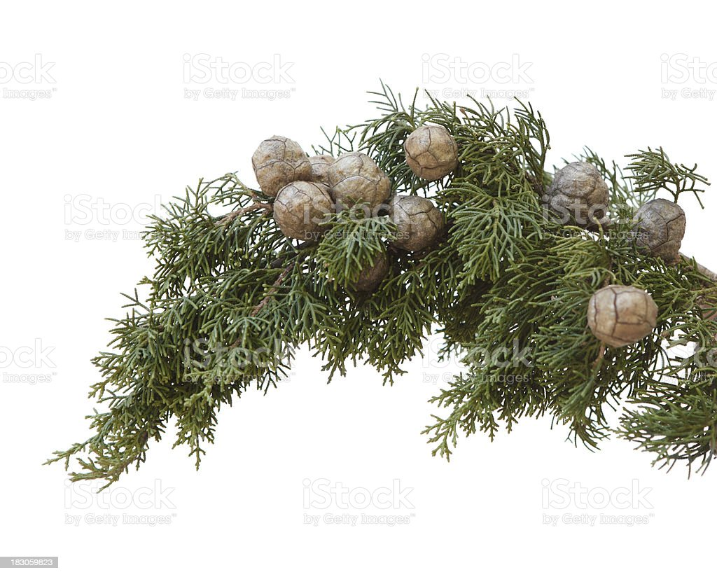 Cypress Tree Cones royalty-free stock photo