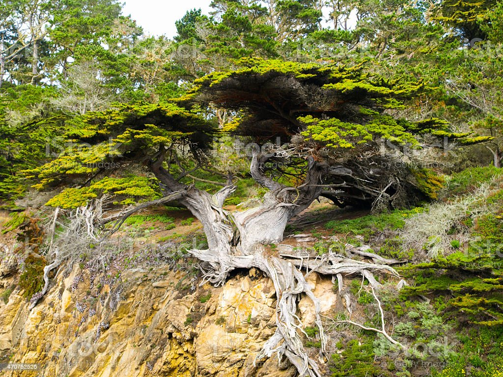 Cypress tree detailed view stock photo