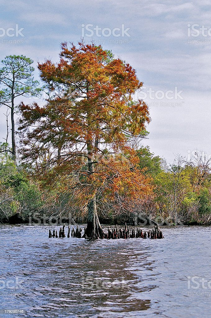 Cypress Tree in Fall royalty-free stock photo