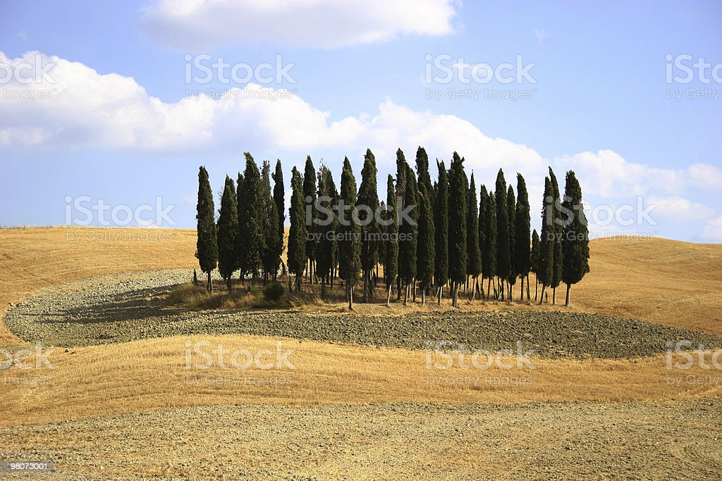 Cypress Tree in Tuscany Fiels royalty-free stock photo