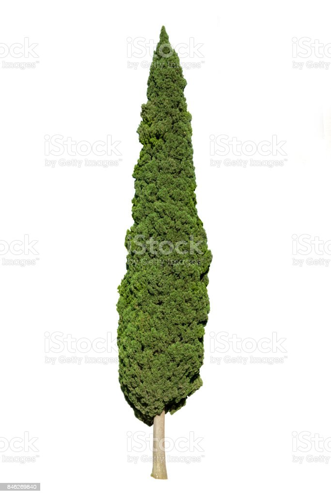 Cypress tree isolated on white background stock photo