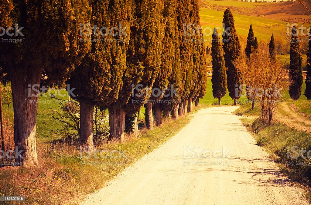 Cypress tree on a Val D'Orcia countryside royalty-free stock photo