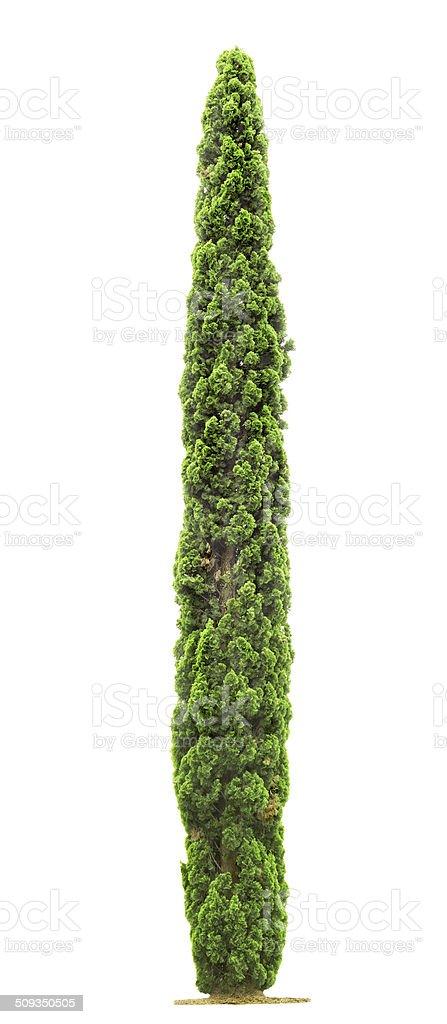 Cypress tree on white background stock photo