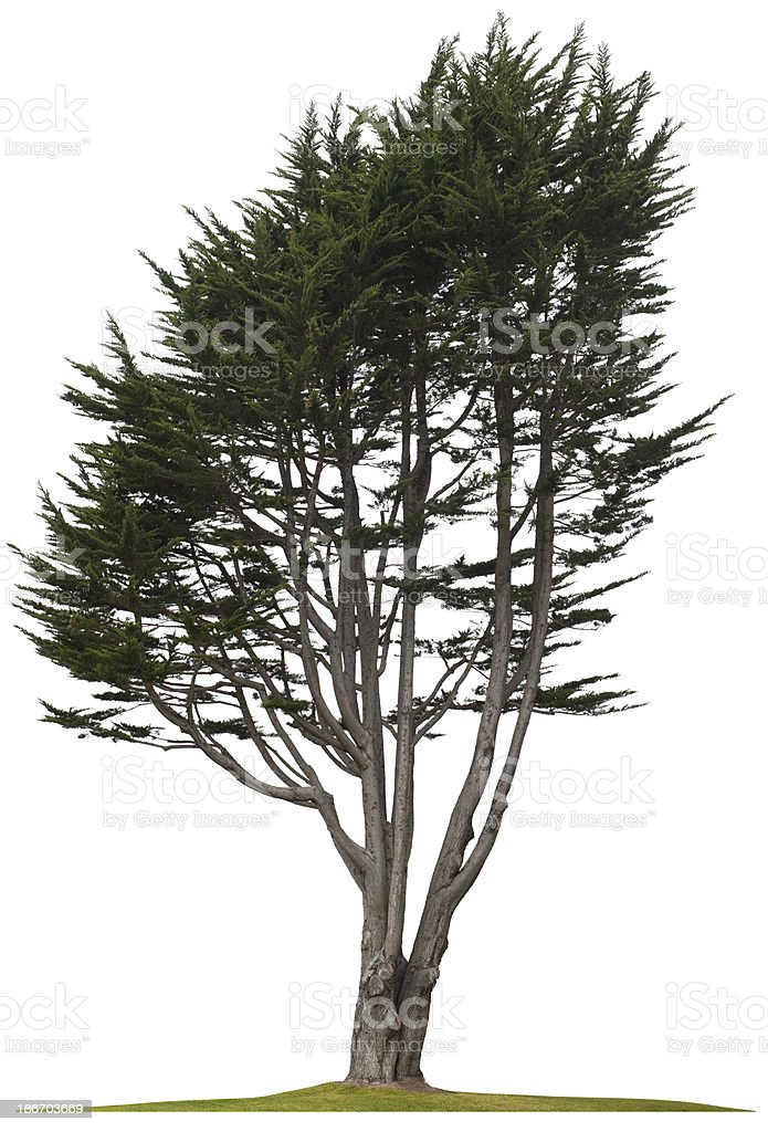 Cypress Tree stock photo