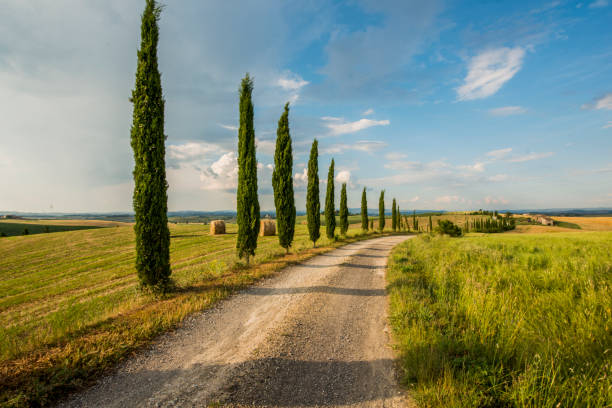 cypress trees along the road in tuscany - cypress tree stock photos and pictures