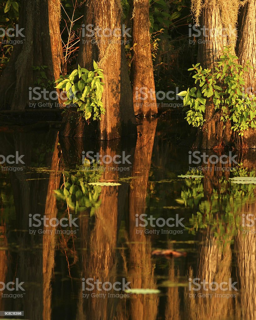 Cypress Trees and Reflections on Lake royalty-free stock photo