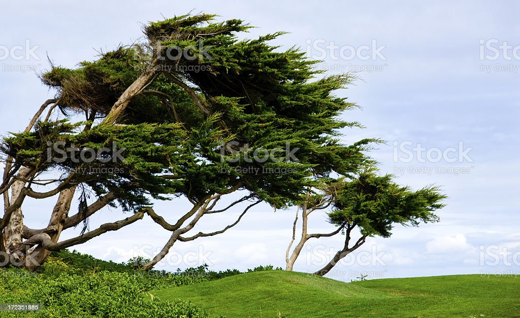 Cypress trees bent by  constant coastal winds royalty-free stock photo