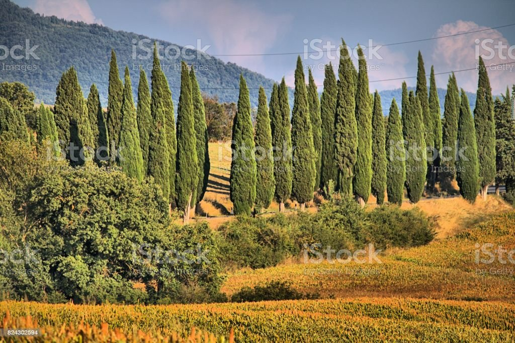 Cypress trees in a classical tuscan landscape - HDR stock photo