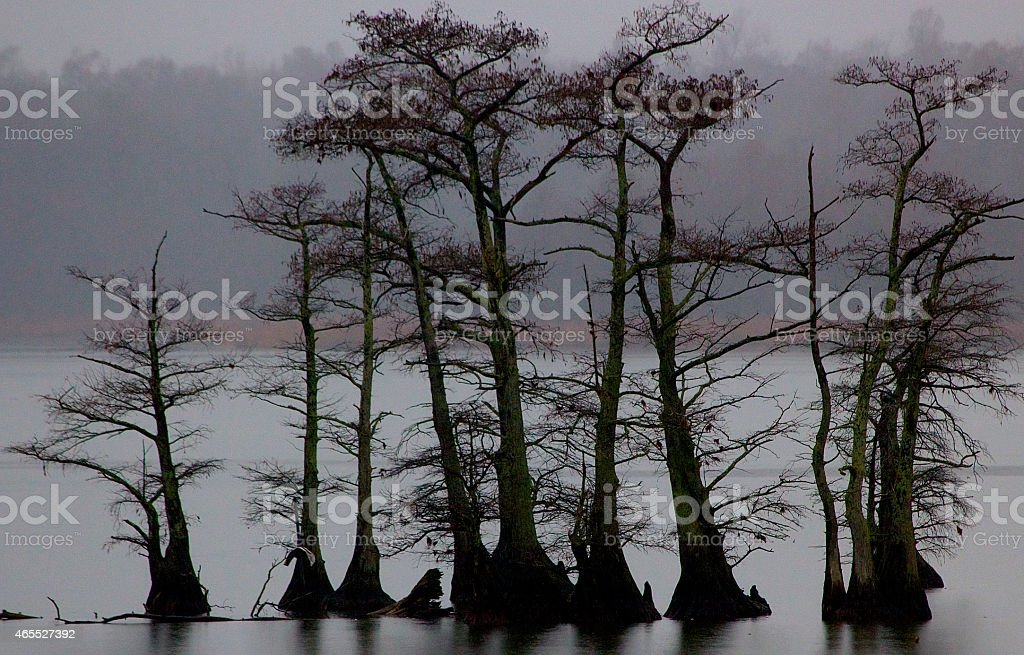 Cypress Trees in Lake stock photo