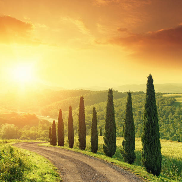 cypress trees in tuscany at sunrise - cypress tree stock photos and pictures