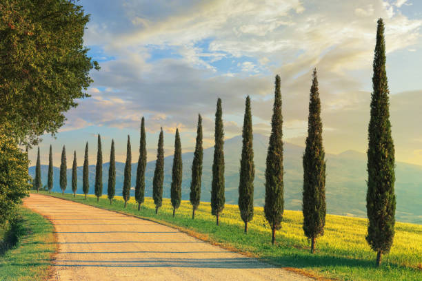 Cypress trees in Tuscany, Italy stock photo