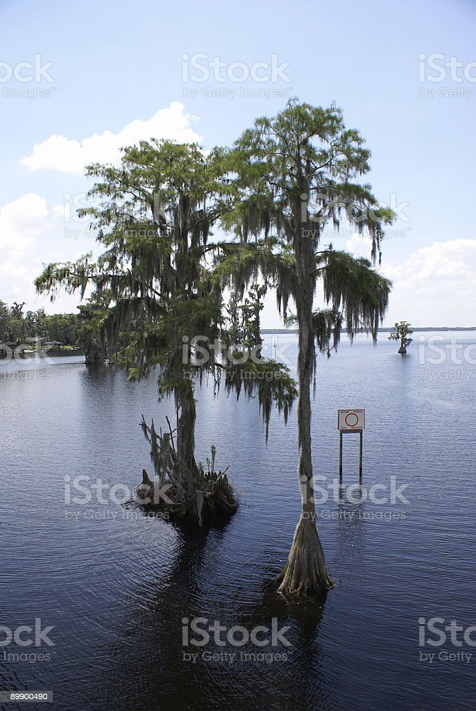 Cypress Trees In Water royalty-free stock photo