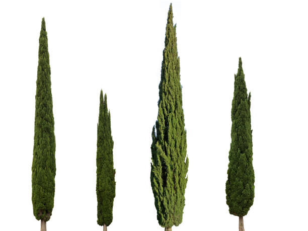 cypress trees isolated on white background - cypress tree stock photos and pictures