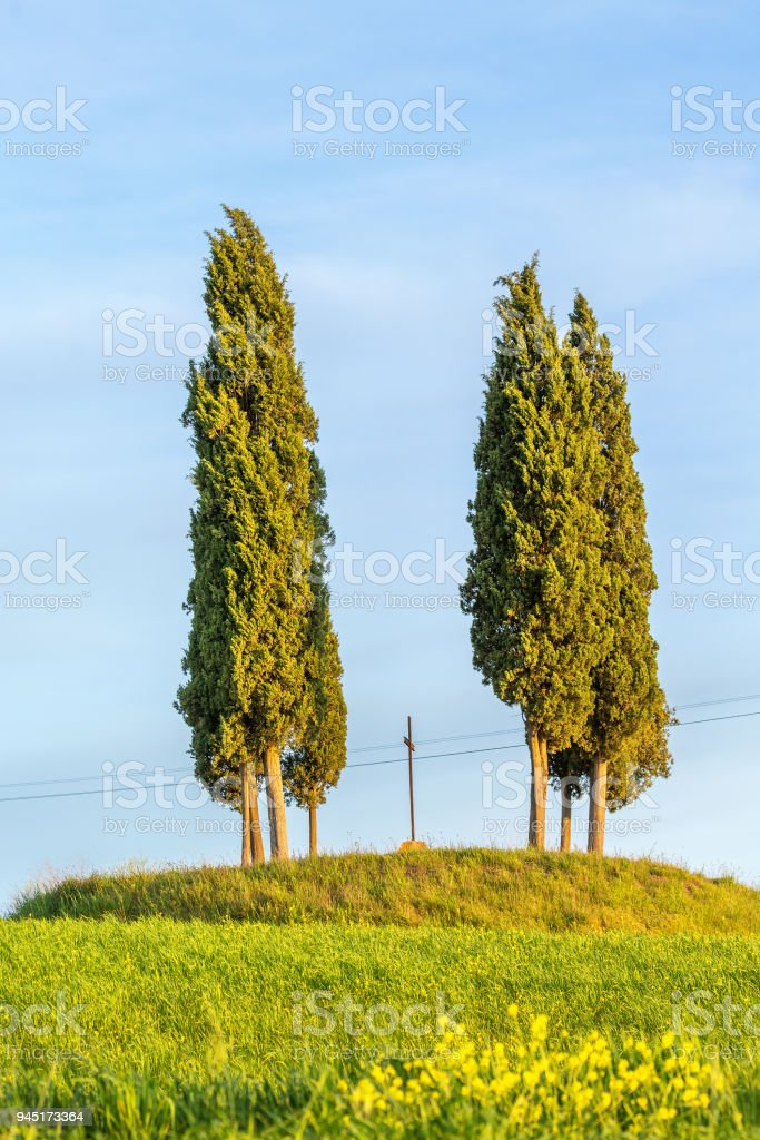 Cypress trees on a hill stock photo