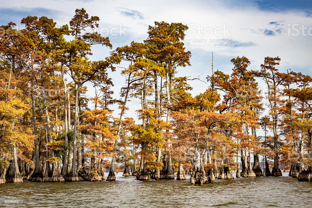 Cypress Trees on Reelfoot Lake early Fall stock photo
