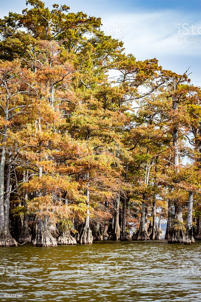 Cypress Trees on Reelfoot Lake in Tennessee stock photo