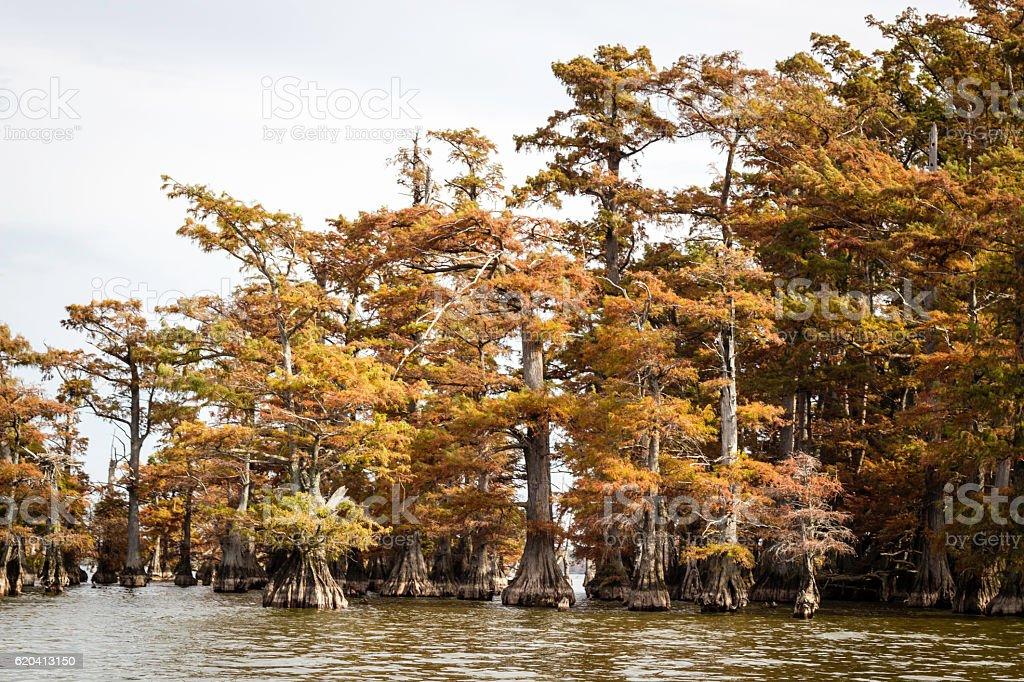 Cypress Trees on Reelfoot Lake stock photo